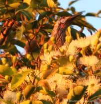 Extra click - wattle bird feeding on flowers