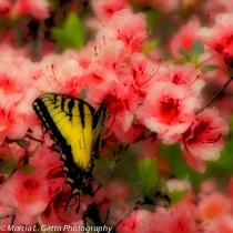 Eastern Tiger Swallowtail   4820