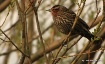 Female Red-winged...