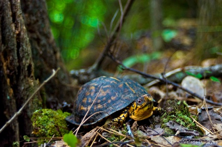 Male Box Turtle (Terrapene carolina)