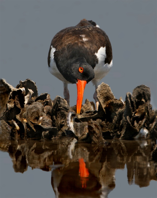 American Oystercatcher - ID: 11720837 © Kathy Reeves