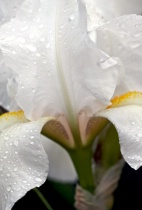 ~evening of the white iris~