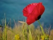 Seaside Poppy