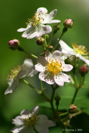 Wild Rose by the Branch