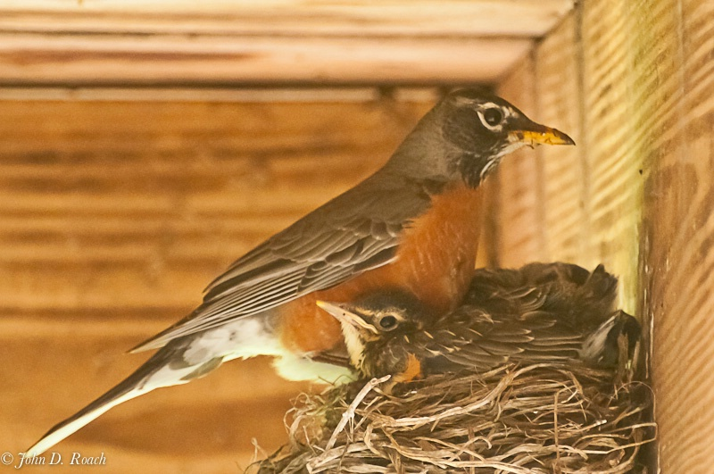 Robin and her young - ID: 11737940 © John D. Roach