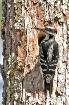 Hairy Woodpecker,...