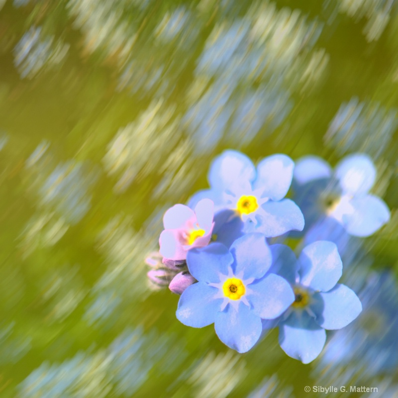 dancing forget-me-nots - ID: 11749153 © Sibylle G. Mattern