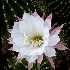 © Patricia A. Casey PhotoID # 11749217: Easter Cactus II