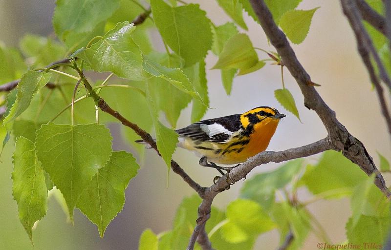 Blackburnian Warbler - ID: 11750664 © Jacqueline A. Tilles