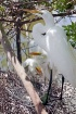Great Egret and C...