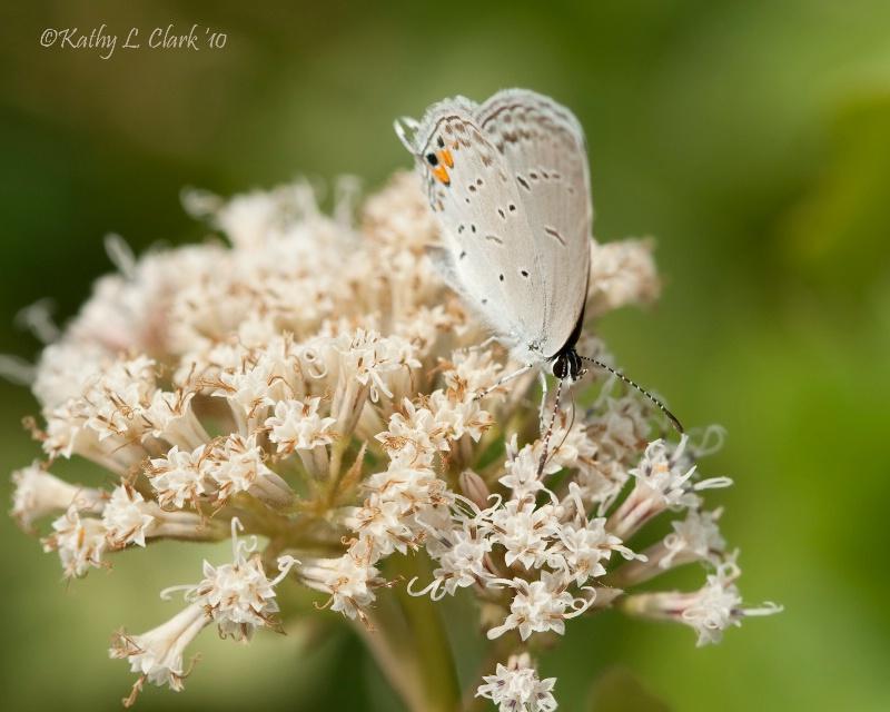 Grey Hairstreak Butterfly on Wild Milkweed