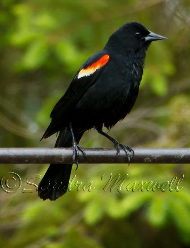 Red Wing Blackbird