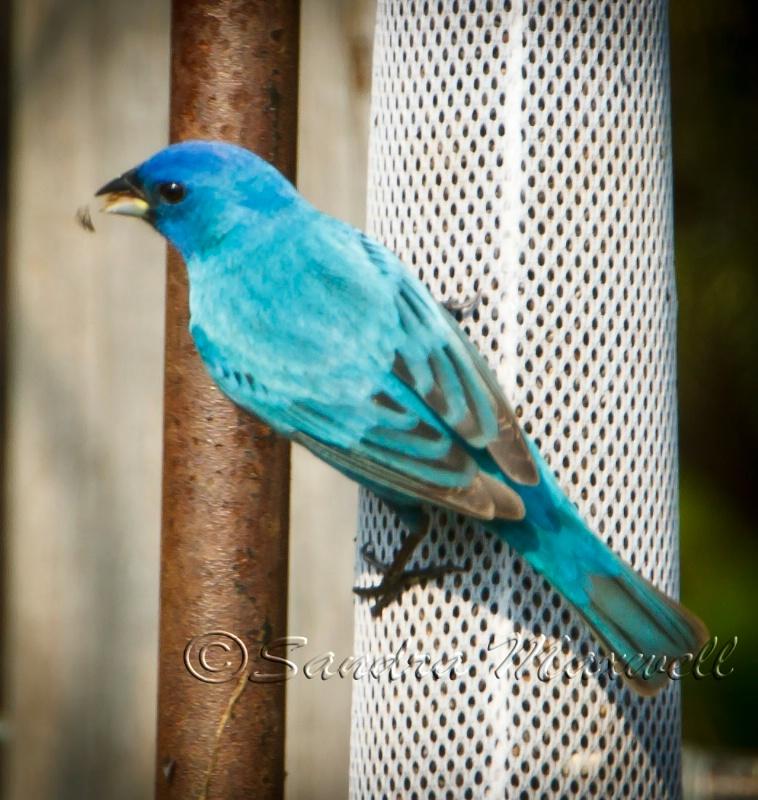 Blue Indigo