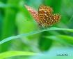 Orange butterfly ...