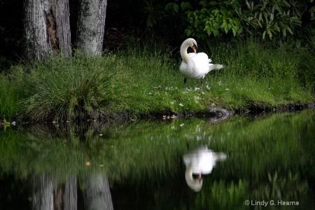 Swan in Lake 2