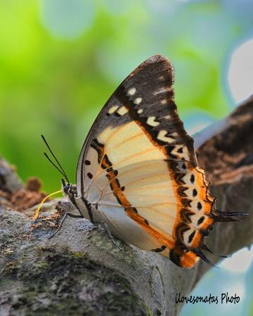 Butterfly under feeding