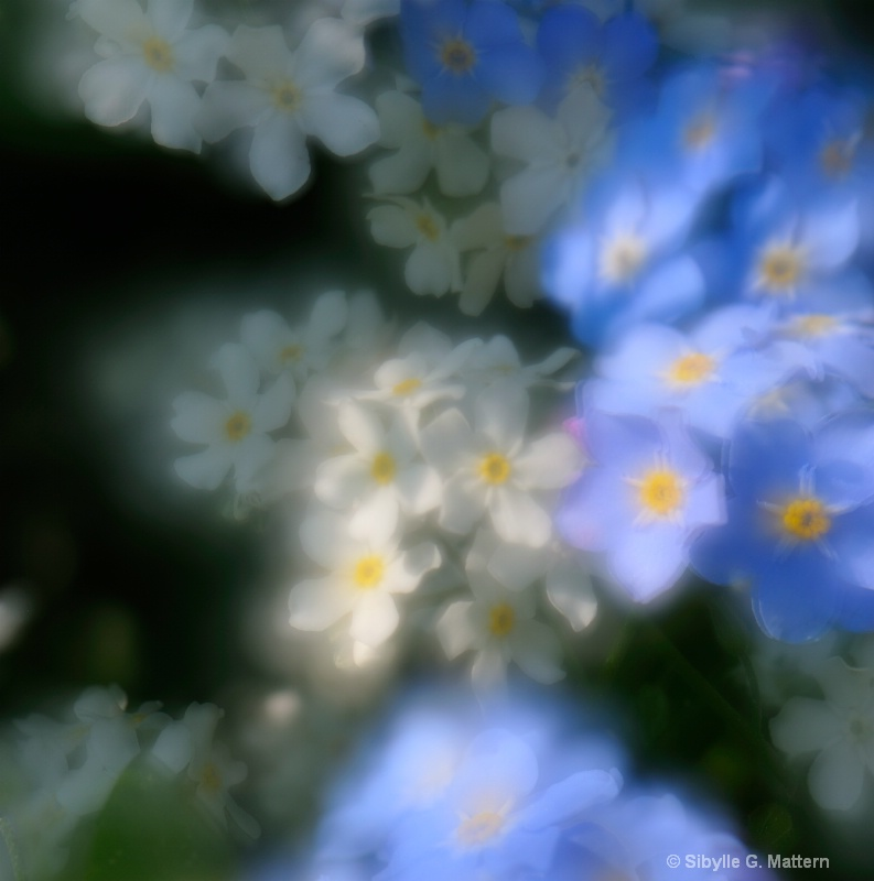 Dreaming forget-me-nots - ID: 11777293 © Sibylle G. Mattern