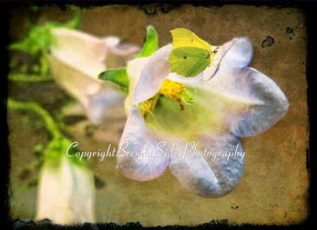 ~Butterfly on Bellflower~
