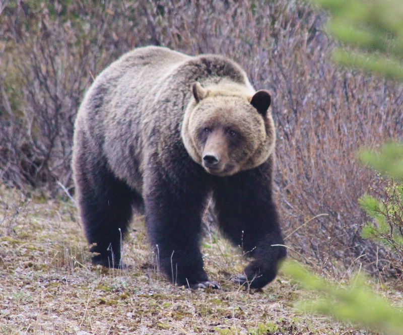 Grizzly bear  - ID: 11786401 © ashley nicholas
