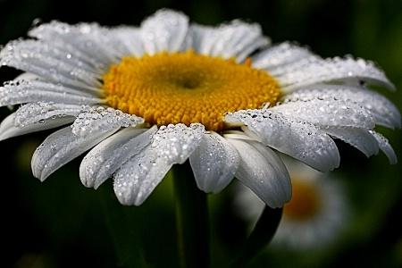 Daisy Jewels