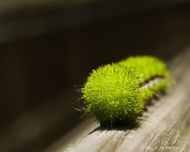 Io Moth Caterpillar -automeri io -Coming - ID: 11800296 © Deborah H. Zimmerman