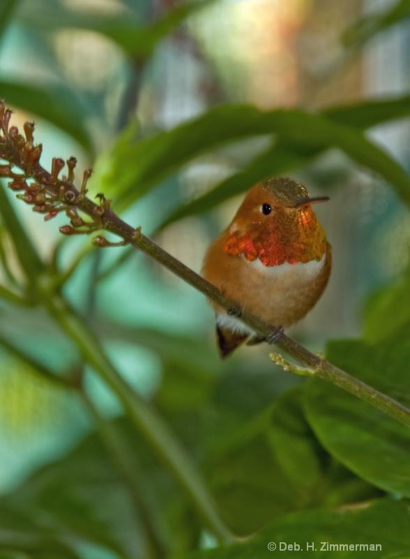 Rufus Hummingbird at Butterfly World - ID: 11800309 © Deborah H. Zimmerman