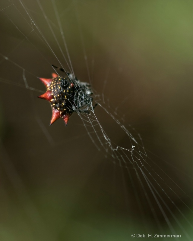 Spiny Orb Weaver Spider -gasteracantha cancriformi - ID: 11800311 © Deborah H. Zimmerman