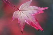 Echos from a pinkish leaf