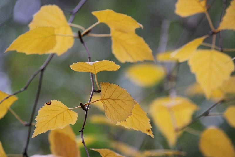 Birch leaves' pattern