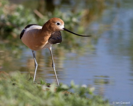 Avocet on shore