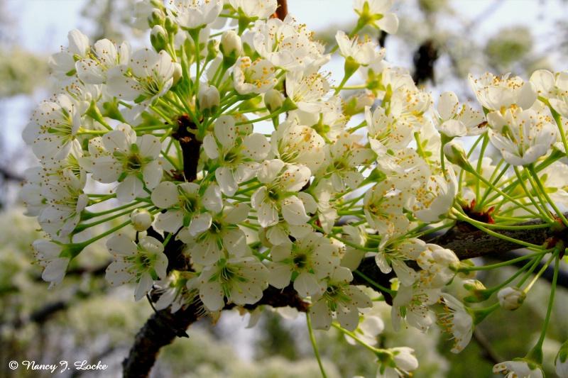 Lovely Plum Blossoms