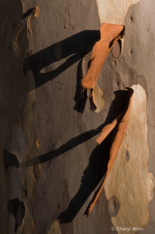 Spotted Gum Shadows