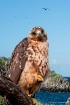 Galapagos Hawk II...