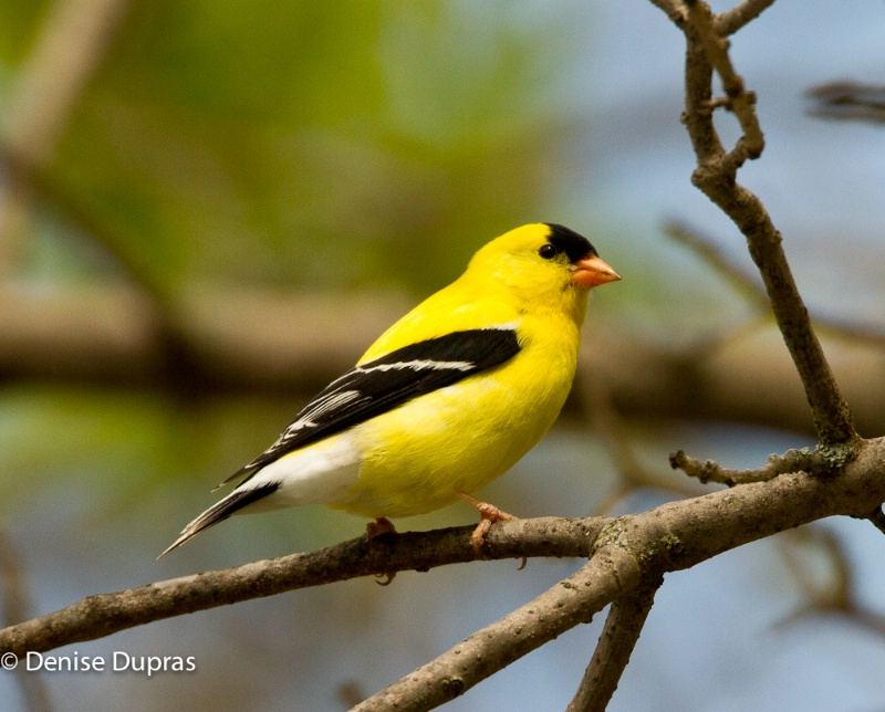 American Goldfinch - ID: 11816750 © Denise Dupras