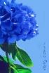 Southern Blue Hyd...