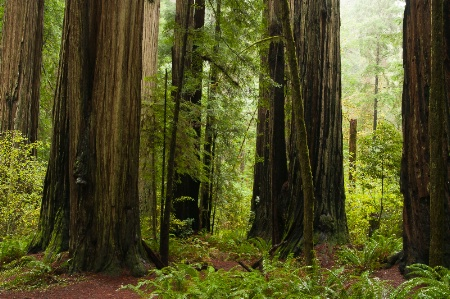 Redwoods in the rain 2970