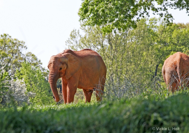 ELEPHANTS IN THE GLADE