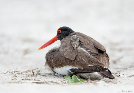 Oystercatcher chick peeking it's head out