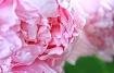 Pretty Pink Peony