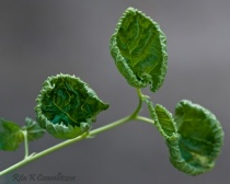 curly leaves