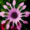 Lilac Spoon