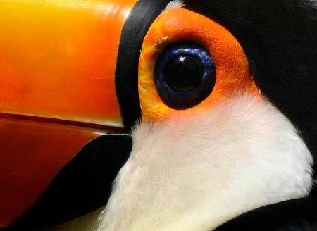Eye Of The Toucan