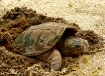 Turtle Laying Egg...