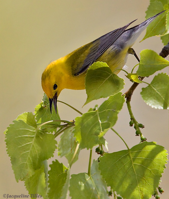 Prothonotary Warbler - ID: 11886422 © Jacqueline A. Tilles