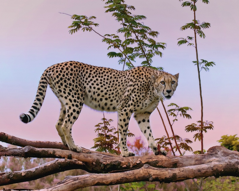 Cheetah - The World's Fastest Land Animal