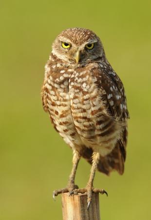 Burrowing owl in the wild garding chicks