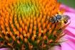 Echinacea Flower ...