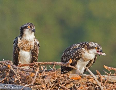 Osprey Chicks; Poquoson, Va.