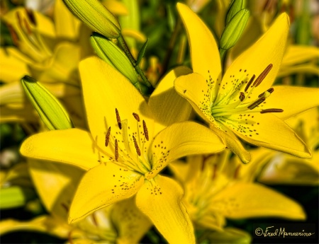 Double Yellow Lilies