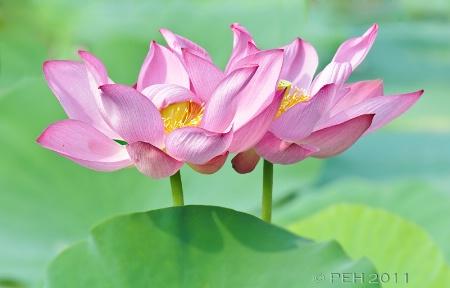 Pink Lotuses